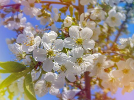 blooming white cherry, softly blurred background, closeup
