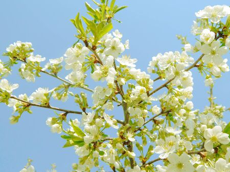 bloomblooming white cherry, softly blurred background, closeuping white cherry, softly blurred background, closeup.