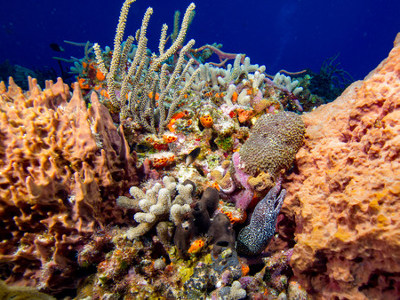 Spotted Moray and Coral Stock Photo