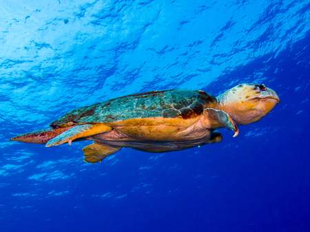 Loggerhead Turtle on blue water background
