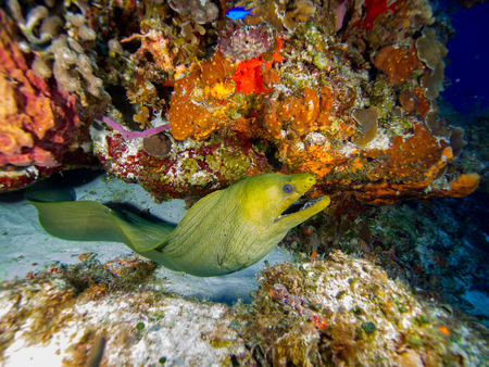 Green Moray and Coral