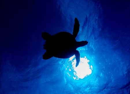 Silhouetted Turtle against sun