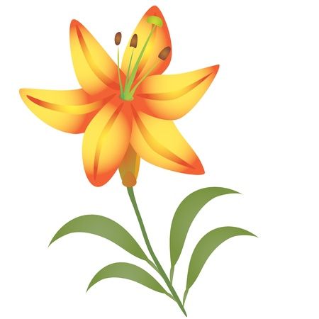 Lily flower  Ilustrace