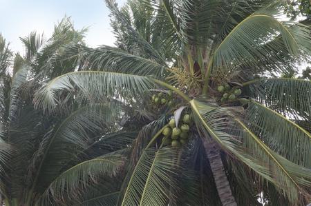dark green background: thailand palm trees coconuts dark green background Stock Photo