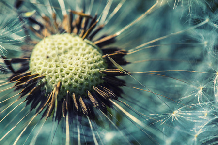 macro photography: Dandelion with abstract background. Dandelion flower in detail Stock Photo