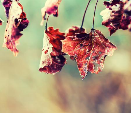 Autumn winter Leaves. Frozen autumn frost cold morning ice maple leaves. Frozen autumn leaves on the branch