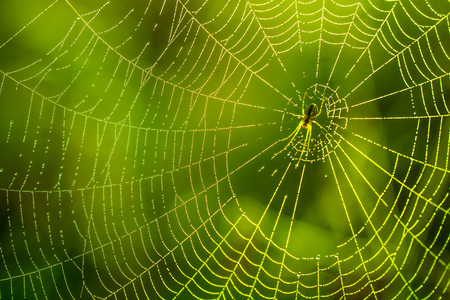 Morning drops of dew in a spider web. Cobweb in dew drops. Beautiful colors in macro nature.