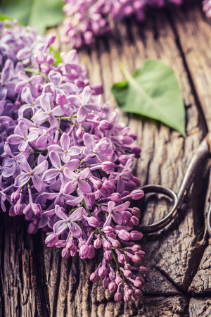 Bouquet of purple lilac and antique scissors on old wooden table. Standard-Bild