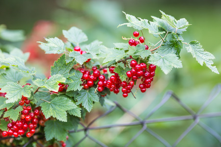 Bush and branches with red currants in garden. Stock fotó