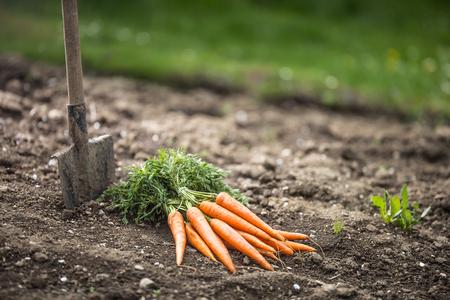 Bunch of fresh carrots freely lying on soil in garden.