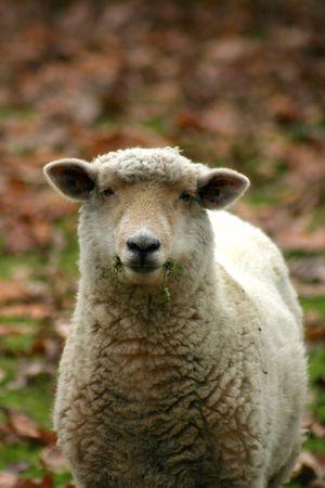 munching: sheep munching on some grass Stock Photo