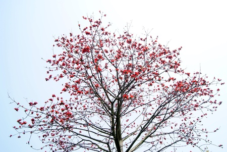 Kapok arbre fleur