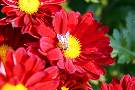 Red chrysanthemum and bees  photo