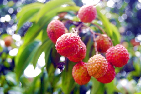Litchi fruit hanging in a tree  Stock Photo