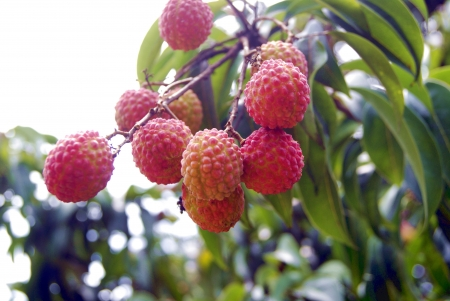 litchi: Litchi fruit hanging in a tree  Stock Photo
