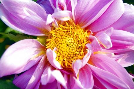 chrysanth�me rouge Banque d'images