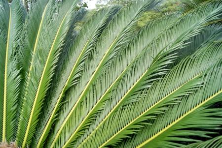 cycas: Cycas green leaves  Stock Photo