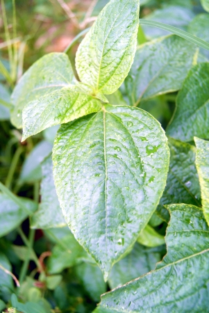 The green leaves of plants