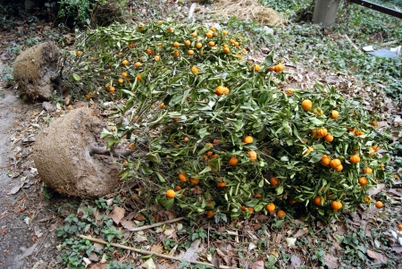 wither: Orange trees wither  Stock Photo