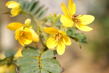 Gold leaf sophora japonica Фото со стока - 18627425