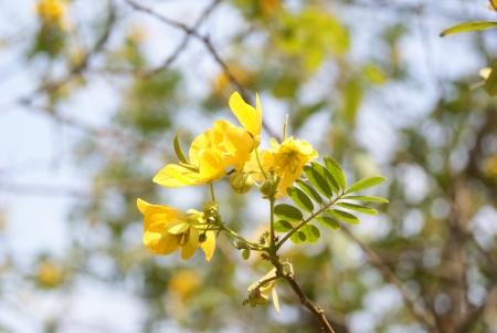 japonica: Gold leaf sophora japonica