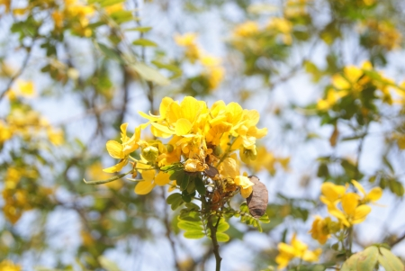 Gold leaf sophora japonica