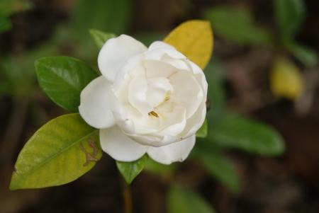 gardenia: Gardenia flower