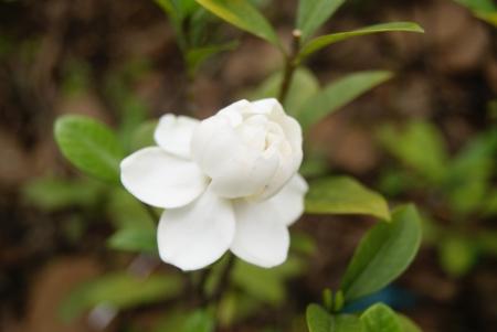 Gardenia fleur