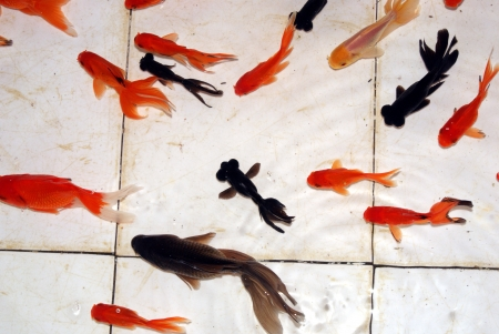 Les poissons d'aquarium Banque d'images