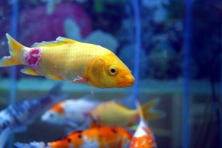 pez pecera: Peces de acuario