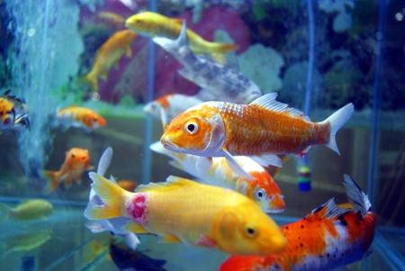 peces de acuario: Aquarium fish
