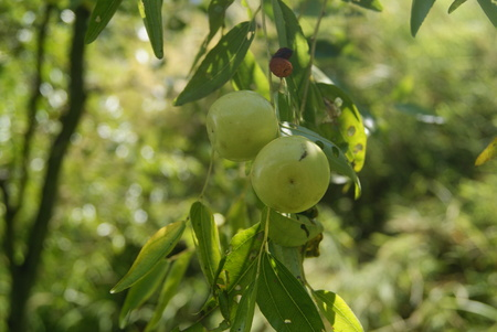 rutaceae: green apple on the tree