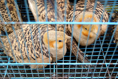 were: The chickens were kept in a cage
