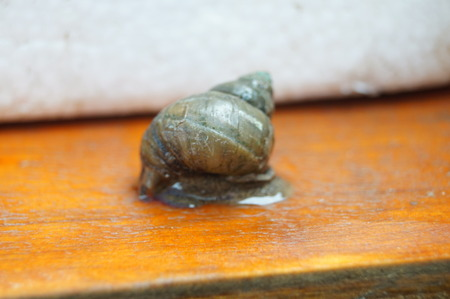 River snail on the wooden board