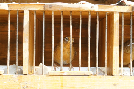 was: The thrush was shut in a cage Stock Photo
