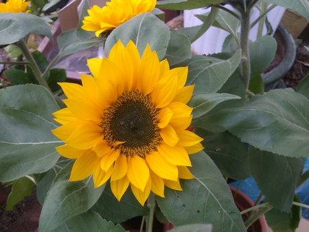 tipped: Sunflower