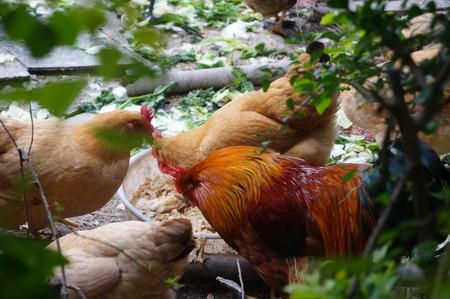 bred: Chicken bred in the wild