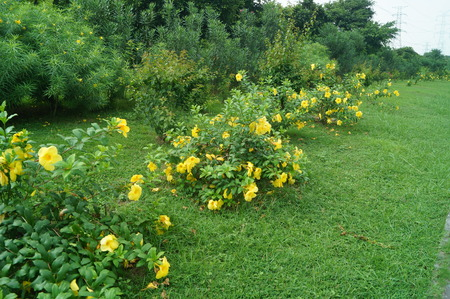 Yellow flowers and green belt landscape