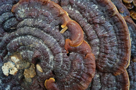 lucidum: Ganoderma lucidum Stock Photo