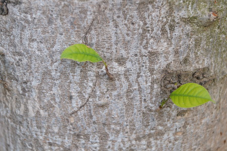 grown up: Close up to leaves that grown on a tree trunk
