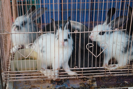 rabbit cage: Rabbit in a cage.