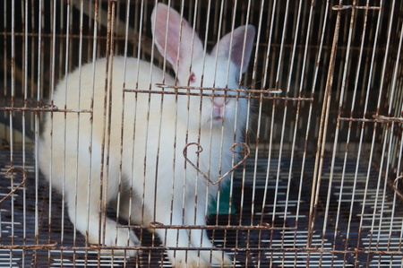 rabbit in cage: Rabbit in a cage.