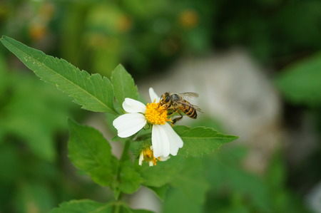 bee on flower: Wild chrysanthemum flower and bee