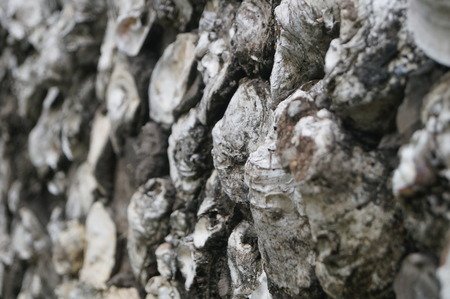 oyster shell: Oyster shell wall in shenzhen, China Stock Photo
