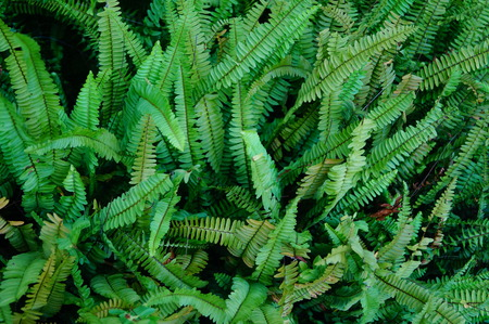 ferns: Ferns