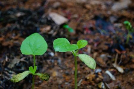 seedlings: Vegetable seedlings
