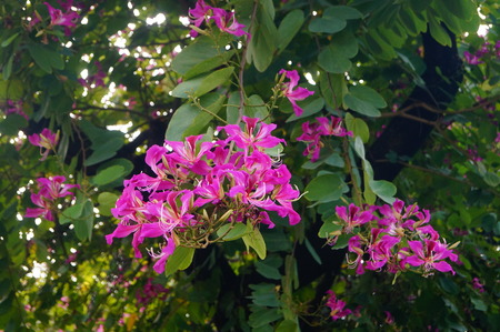 Bauhinia flower Фото со стока - 49278300