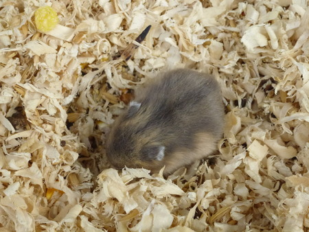 hamsters: Hamsters Stock Photo