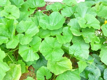 hojas parra: Calabaza hojas de vid