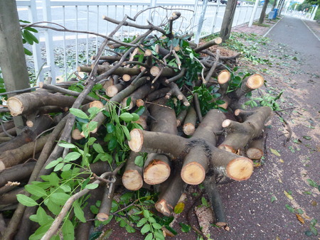 typhoon: Shenzhen: After Typhoon Nida, uprooted trees fell to the ground